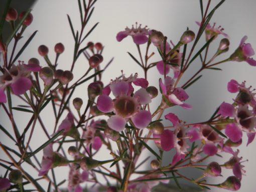 Chamelaucium Purple Pride