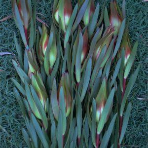 Leucadendron Clare's Beauty