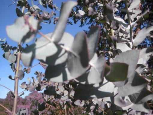 Eucalyptus Crucis