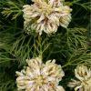 Lemon Honey Protea Flora