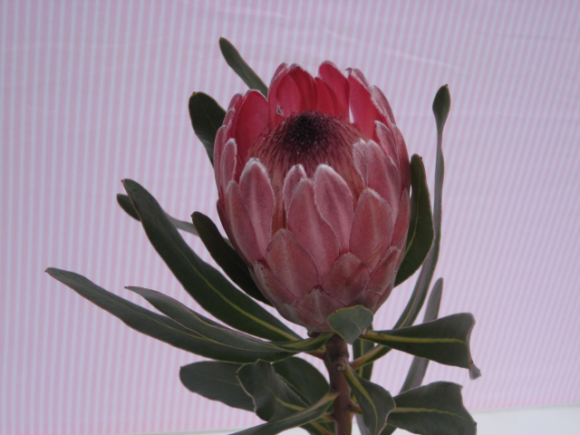 Proteaceae Pink Ice