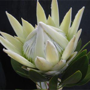 Proteaceae King Protea Arctic White